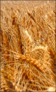 Gluten is found in grains, such as wheat.
