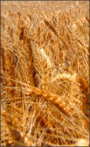 Gluten is found in grains, such as wheat.